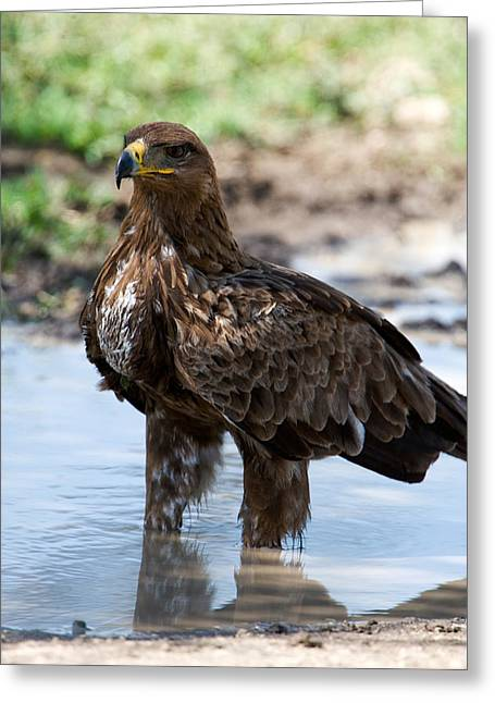 Ripples In The Water Greeting Cards - Close-up Of A Tawny Eagle Aquila Rapax Greeting Card by Panoramic Images