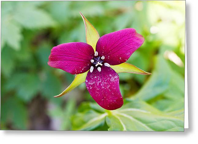 Flowers On Head Greeting Cards - Close-up Of A Trillium Flower Greeting Card by Panoramic Images