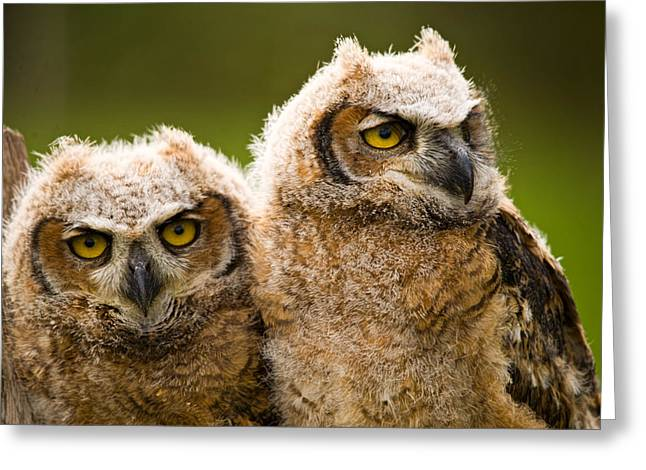 Owlets Greeting Cards - Close-up Of A Two Great Horned Owlets Greeting Card by Panoramic Images