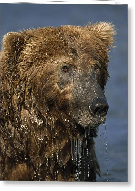 Fishing Creek Greeting Cards - Close Up Of A Wet Grizzly Bear Greeting Card by Johnny Johnson