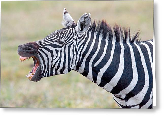 Animal Faces Greeting Cards - Close-up Of A Zebra Braying, Ngorongoro Greeting Card by Panoramic Images