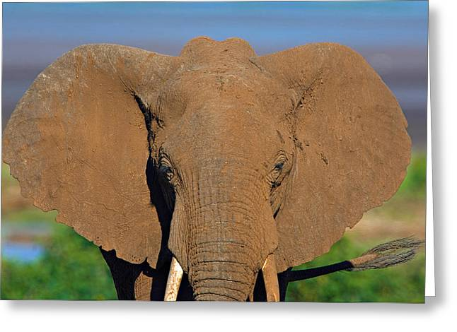 Animal Faces Greeting Cards - Close-up Of An African Elephant, Lake Greeting Card by Panoramic Images