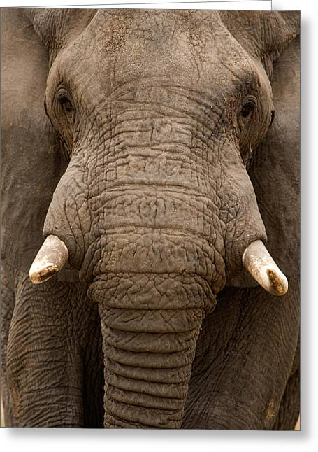 East Africa Greeting Cards - Close-up Of An African Elephant Greeting Card by Panoramic Images