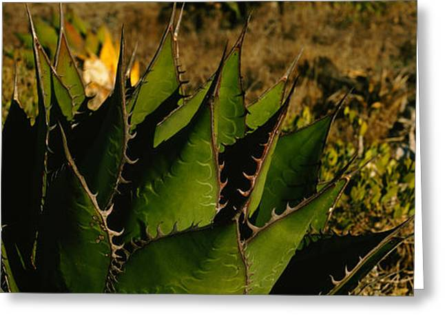 Baja California Greeting Cards - Close-up Of An Aloe Vera Plant, Baja Greeting Card by Panoramic Images