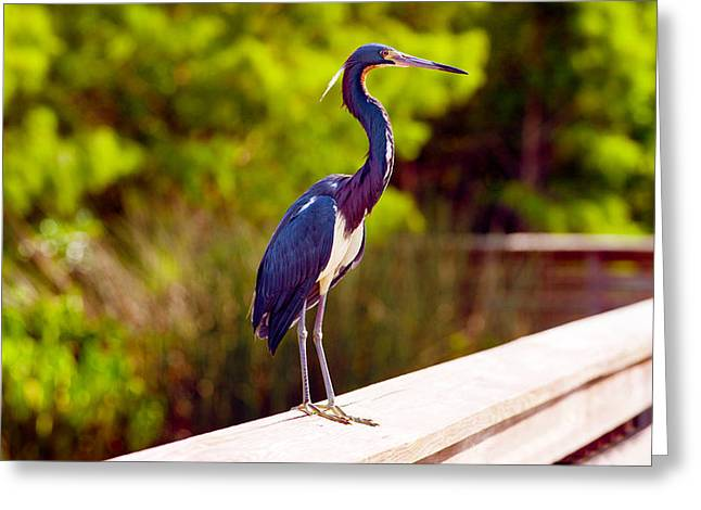Florida Wildlife Photography Greeting Cards - Close-up Of An Blue Egret, Boynton Greeting Card by Panoramic Images