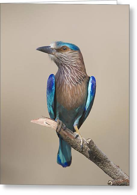 Zoology Greeting Cards - Close-up Of An Indian Roller Coracias Greeting Card by Panoramic Images