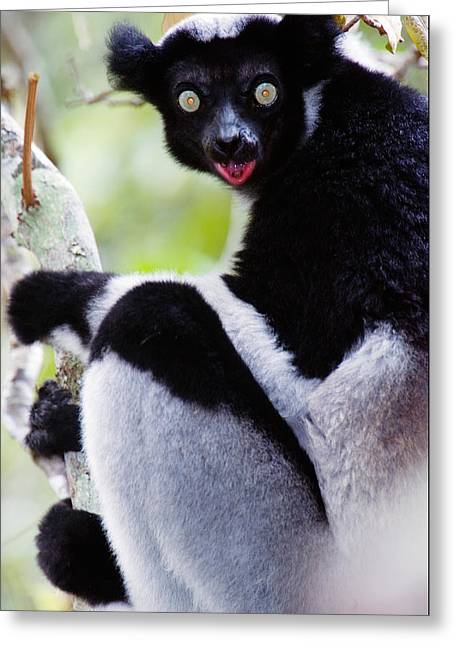 Primates Greeting Cards - Close-up Of An Indri Lemur Indri Indri Greeting Card by Panoramic Images