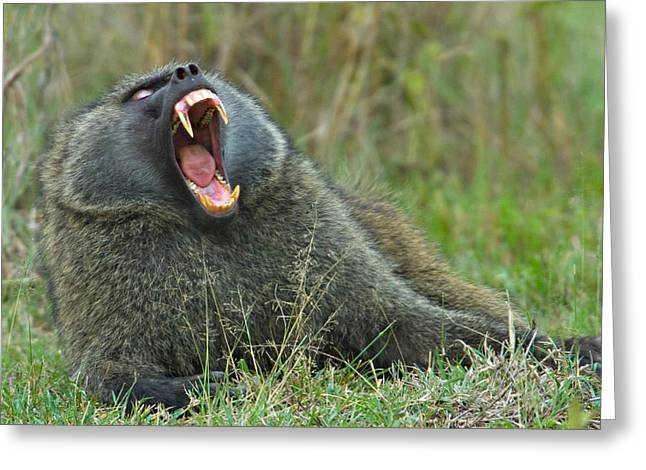 Olive Greeting Cards - Close-up Of An Olive Baboon Yawning Greeting Card by Panoramic Images