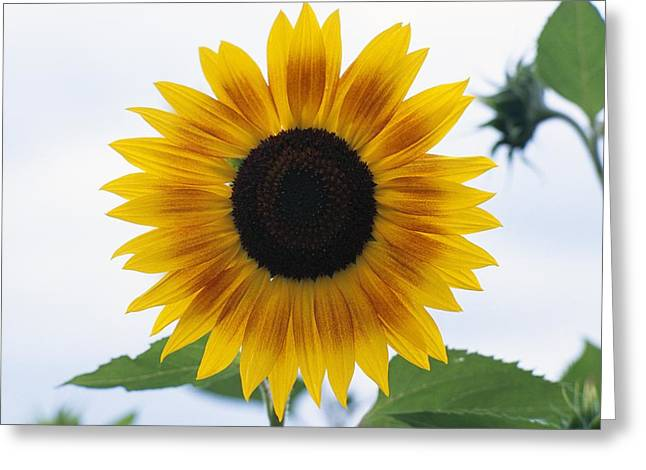 Grow Inside Greeting Cards - Close-up Of Blooming Sunflower Greeting Card by Dan Sherwood