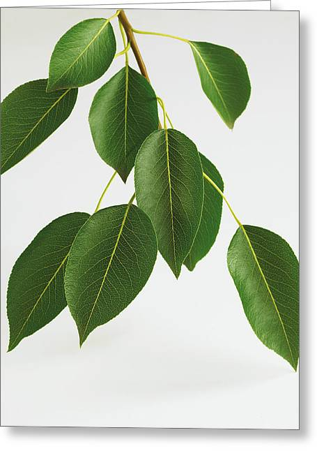 Differential Focus Greeting Cards - Close-up Of Branch And Leaves Of Pear Greeting Card by Bruno Crescia