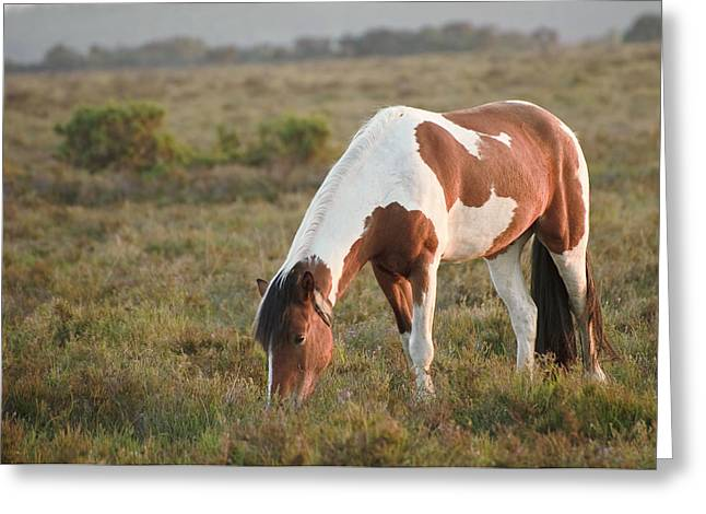 New Forest Pony Greeting Cards - Close up of brown and white New Forest pony horse at sunrise in  Greeting Card by Matthew Gibson