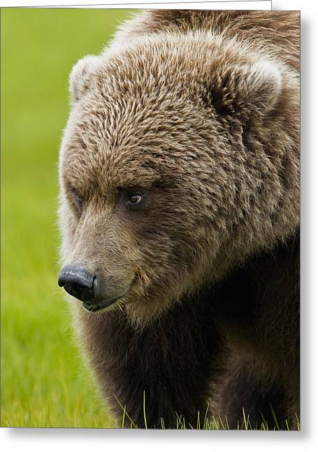Harts Greeting Cards - Close Up Of Brown Bear In Sedge Grasses Greeting Card by Cathy Hart