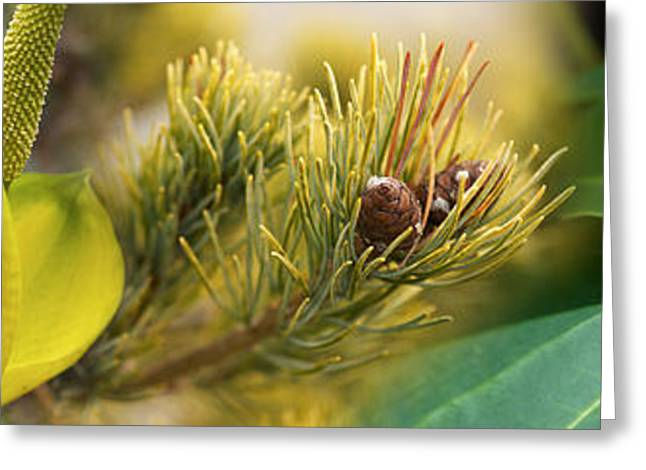 Stamen Greeting Cards - Close-up Of Buds Of Pine Tree Greeting Card by Panoramic Images
