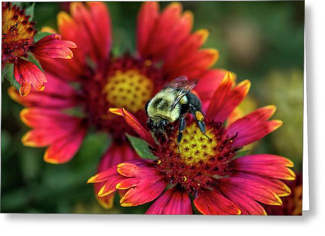 Close-up Of Bumblebee With Pollen Greeting Card by Rona Schwarz