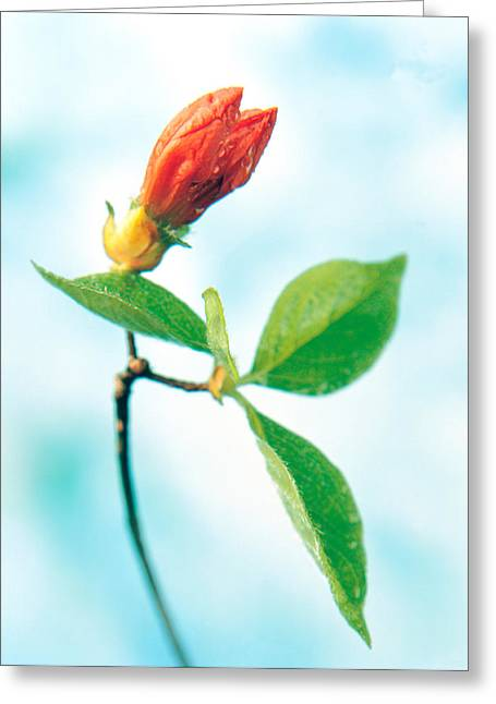 Green Leafs Greeting Cards - Close Up Of Dark Pink Flower Bud Greeting Card by Panoramic Images