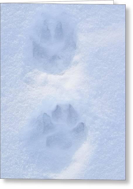 Dog Prints Photographs Greeting Cards - Close Up Of Dog Paw Tracks On Snow Greeting Card by Gina Bringman