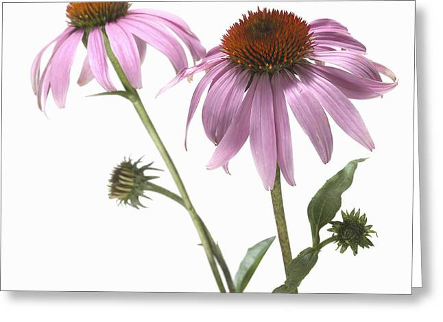 Differential Focus Greeting Cards - Close-up Of Echinacea Flower Greeting Card by Bruno Crescia