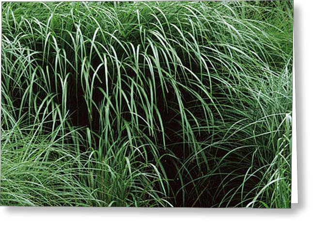 Fall Grass Greeting Cards - Close-up Of Fall-blooming Reed Grass Greeting Card by Panoramic Images