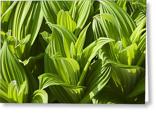 False Hellebore Greeting Cards - Close Up Of False Hellebore, Alaska Greeting Card by Mark Stadsklev