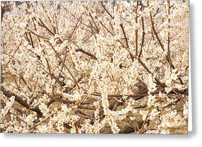Close Focus Nature Scene Greeting Cards - Close Up Of Flowering Cherry Tree Greeting Card by Panoramic Images