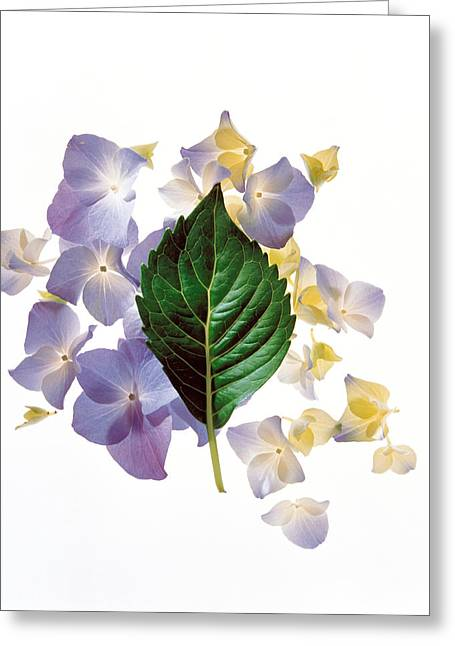 Green Leafs Greeting Cards - Close Up Of Green Leaf And Lavender Greeting Card by Panoramic Images