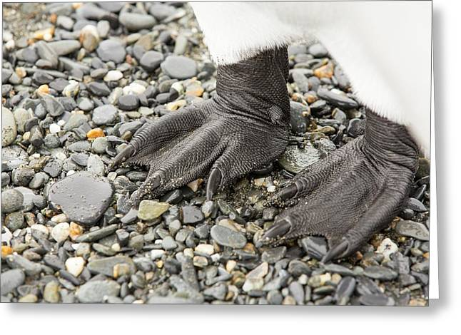 Close Up Of King Penguin Feet Greeting Card by Ashley Cooper