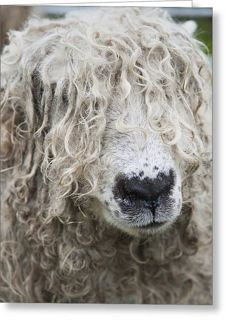 Simple Beauty In Colors Greeting Cards - Close-up Of Leicester Longwool Sheep Greeting Card by Naki Kouyioumtzis