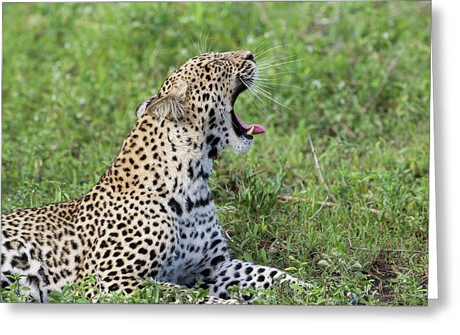 Close-up Of Leopard Lying On Grass Greeting Card by James Heupel