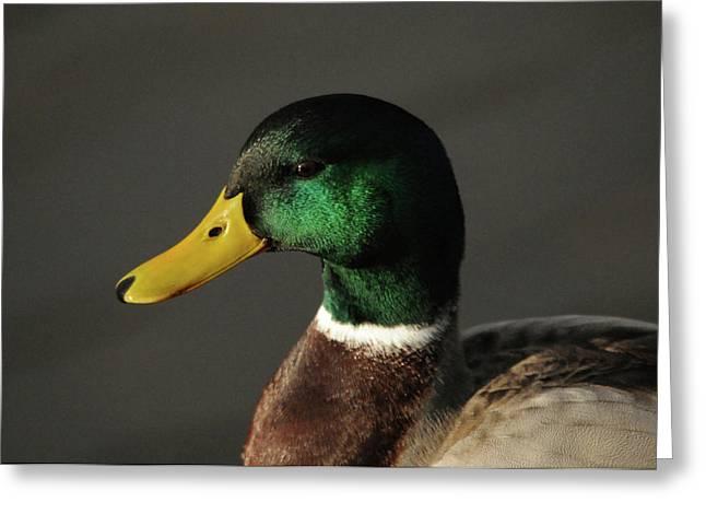 Close Up Of Male Mallard Duck Greeting Card by Michel Hersen