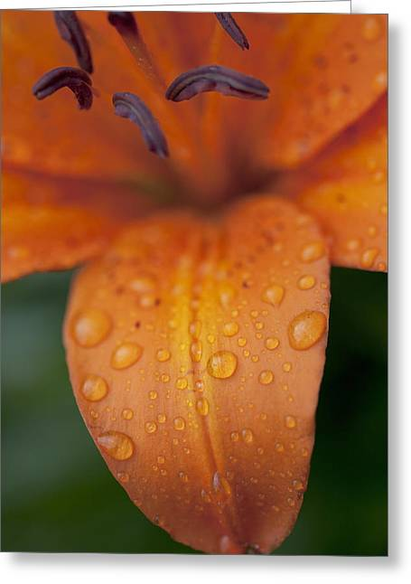 Descriptors Greeting Cards - Close-up Of Orange Lily Flower After Greeting Card by Ron Bouwhuis