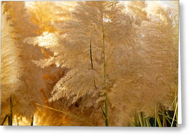 Recovery Greeting Cards - Close-up Of Pampas Grass Greeting Card by Panoramic Images