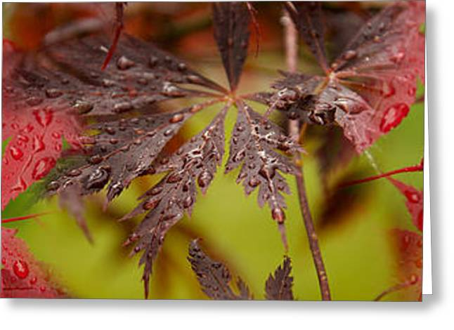 Raindrops On Leaves Greeting Cards - Close-up Of Raindrops On Japanese Maple Greeting Card by Panoramic Images