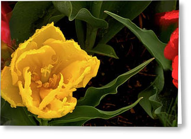 Stamen Greeting Cards - Close-up Of Red And Yellow Tulips Greeting Card by Panoramic Images