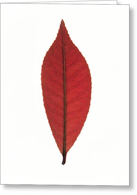 Red Leaves Greeting Cards - Close Up Of Red Leaf On White Greeting Card by Panoramic Images