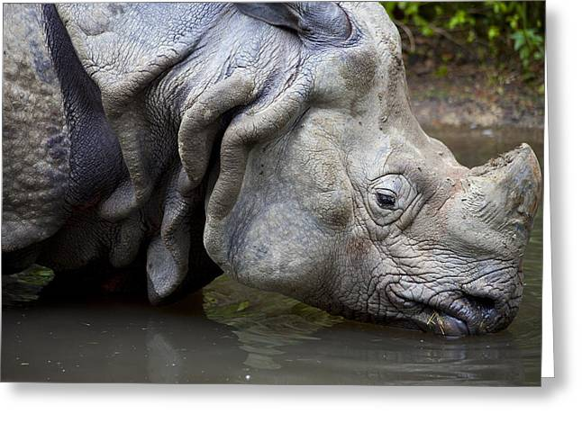 One Horned Rhino Greeting Cards - Close up of rhino drinking Rhinoceros unicornis Greeting Card by Gino De Graaf
