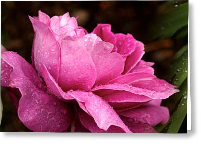 Botany Greeting Cards - Close-up Of Roses Greeting Card by Panoramic Images