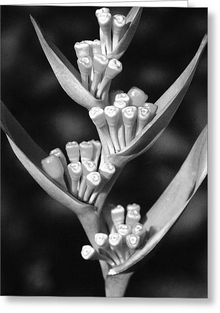 Unique Art Greeting Cards - Close-up of seeding heliconia _black and white photograph_ Greeting Card by Allan Seiden