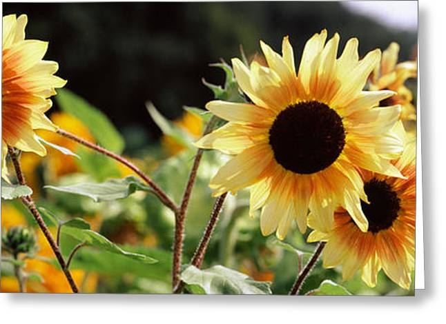 Botany Greeting Cards - Close-up Of Sunflowers Helianthus Annuus Greeting Card by Panoramic Images