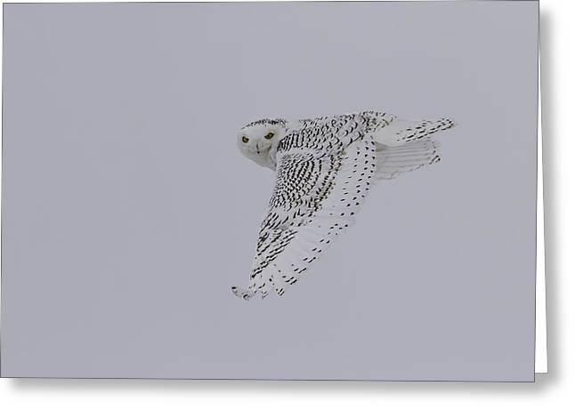 Snowy White Owl Greeting Cards - Close Up Of The Ghost Flight Greeting Card by Thomas Young