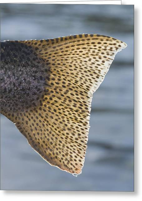 Rainbow Trout Greeting Cards - Close Up Of The Tail Of A Rainbow Trout Greeting Card by Greg Martin