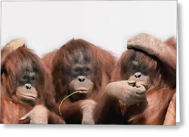 Animal Hair Greeting Cards - Close-up Of Three Orangutans Greeting Card by Panoramic Images