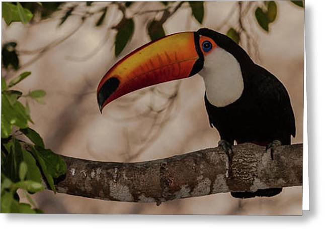 Close-up Of Tocu Toucan Ramphastos Toco Greeting Card by Panoramic Images