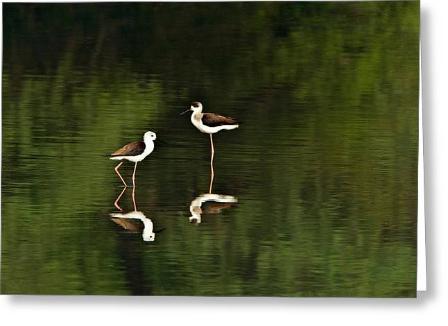 Zoology Greeting Cards - Close-up Of Two Black-winged Stilts Greeting Card by Panoramic Images