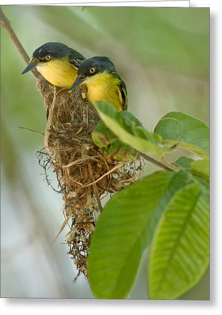 Passerine Greeting Cards - Close-up Of Two Common Tody-flycatchers Greeting Card by Panoramic Images