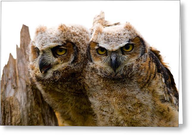 Owlets Greeting Cards - Close-up Of Two Great Horned Owlets Greeting Card by Panoramic Images