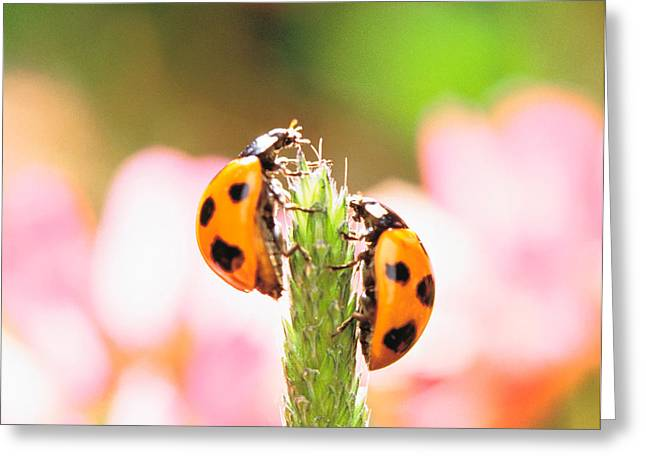 Close Focus Nature Scene Greeting Cards - Close Up Of Two Ladybugs Greeting Card by Panoramic Images