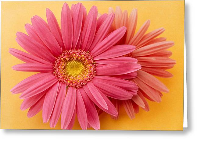 Zinnias Greeting Cards - Close Up Of Two Pink Zinnias On Yellow Greeting Card by Panoramic Images