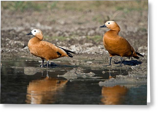 Ruddy Greeting Cards - Close-up Of Two Ruddy Shelduck Tadorna Greeting Card by Panoramic Images