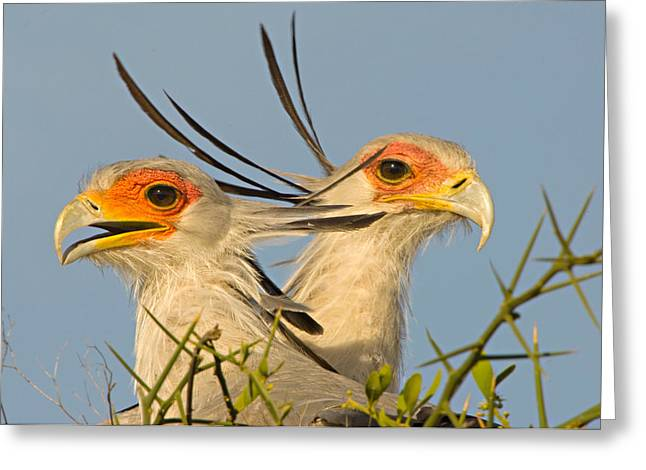 Alertness Greeting Cards - Close-up Of Two Secretary Birds Greeting Card by Panoramic Images