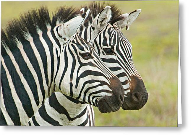 Snout Greeting Cards - Close-up Of Two Zebras, Ngorongoro Greeting Card by Panoramic Images